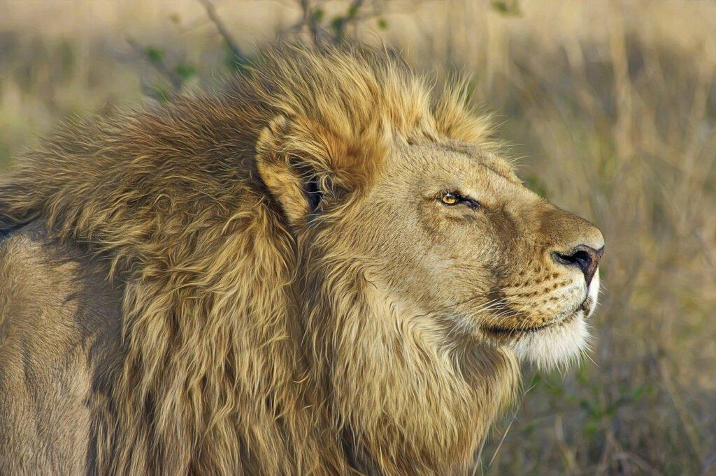 Het gezinsleven - De leeuw