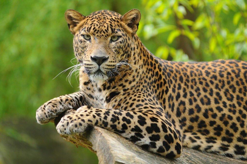 Het gezinsleven - De luipaard