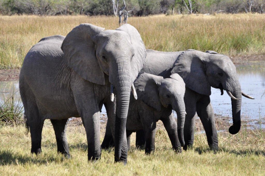 Het gezinsleven - De olifant