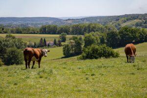 Het Gezinsleven - Uitstapjes - Bezienswaardigheden - Top 10 Bezienswaardigheden in Limburg - Koeien in het Zuid-Limburgse heuvelland